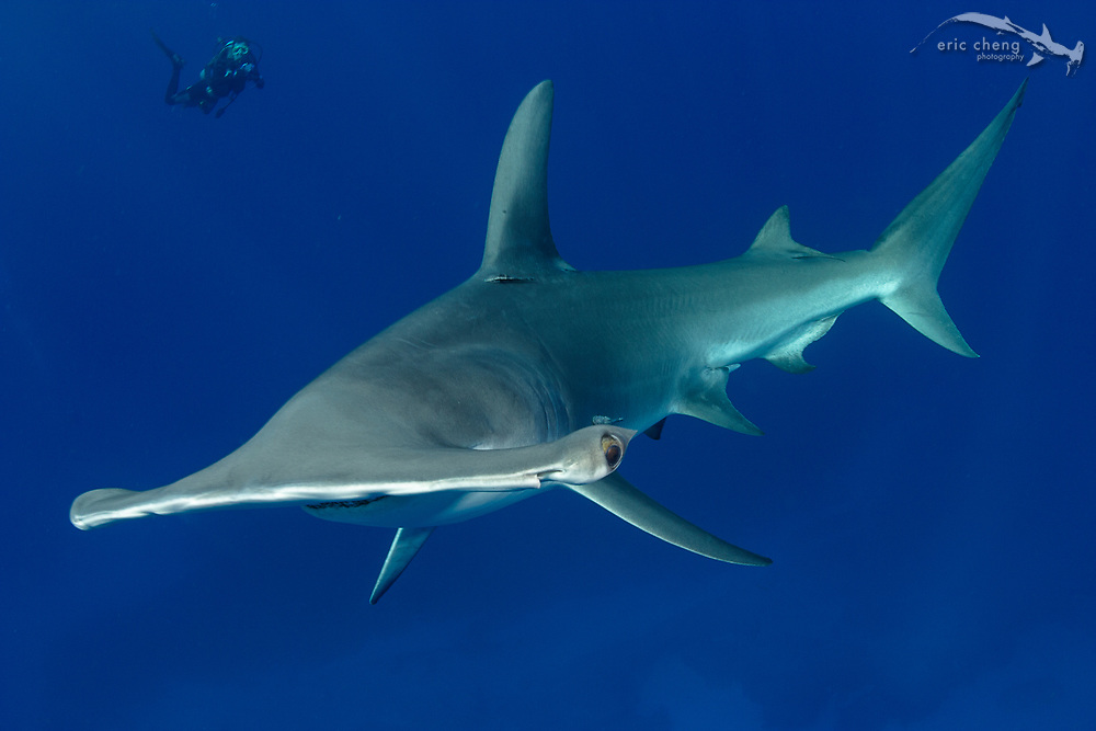 A great hammerhead (Sphyrna mokarran) in  the Bahamas, with a scuba diver in the background.
