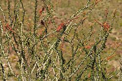 Ocotillo (Fouquieria splendens) in the Anza-Borrego Desert of southern California, USA