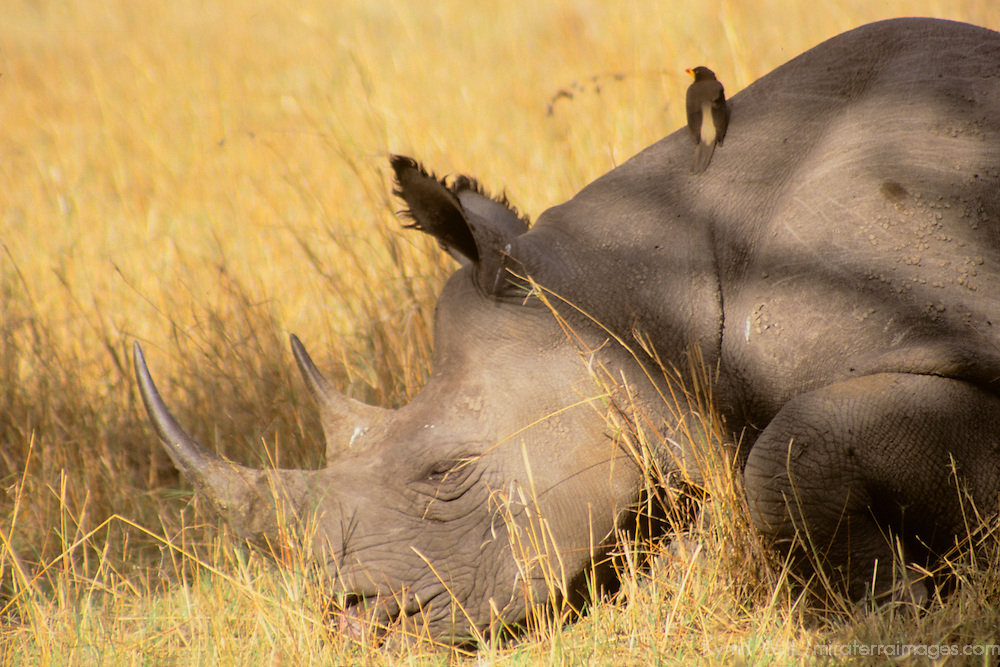 Africa, Kenya, Maasai Mara. A black rhino rests in the plains of the Maasai Mara, with an oxpecker for company.