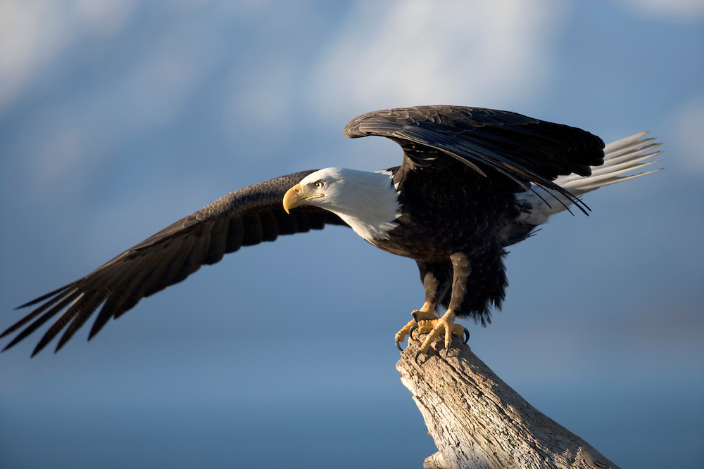 USA, Alaska, Homer, Bald Eagle (Haliaeetus leucocephalus) spreads wings while standing on driftwood perch along Kachemak Bay at sunrise on winter morning.