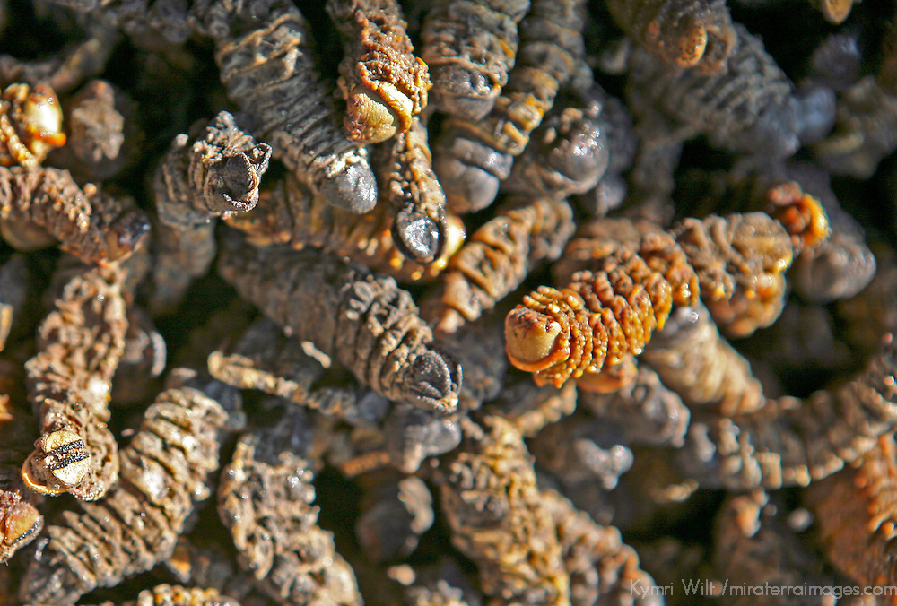 Africa, Namibia, Windhoek. Dried and smoked Mopane worms, found in street markets in Namibia, are eaten as a snack and a source of protein.