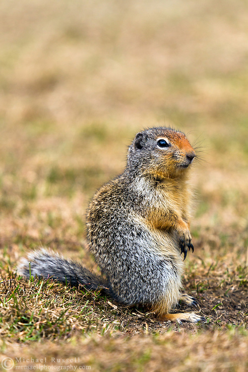 A Columbian Ground Squirrel (Urocitellus columbianus) keeping an eye out for danger by its burrow at Manning Provincial Park in British Columbia, Canada