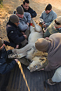 Lion darted for relocation to Malawi (Panthera leo) loaded onto truck for transportation to airfield<br /> Pilansberg Game Reserve<br /> North West Province<br /> SOUTH AFRICA