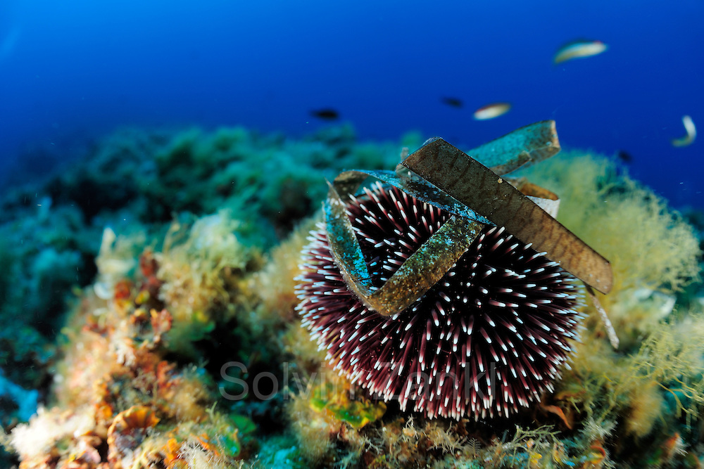 Sea urchin (Sphaerechinus granularis) [size of single organism: 10 cm] | Violetter Seeigel (Sphaerechinus granularis)