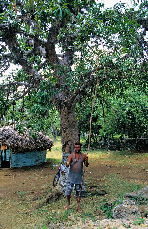 Caribbean, Jamaica. Jamaican local picks fresh mango from tree.