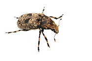 Fungus Weevil (Euparius marmoreus)<br /> TEXAS: Edwards County<br /> off C.R. 24; Camp Wood, 6 km NW<br /> 29-May-2012<br /> J.C. Abbott &amp; K.K. Abbott
