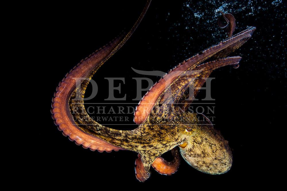 Octopus tetricus.<br /> Photograph Richard Robinson &copy; 2014.