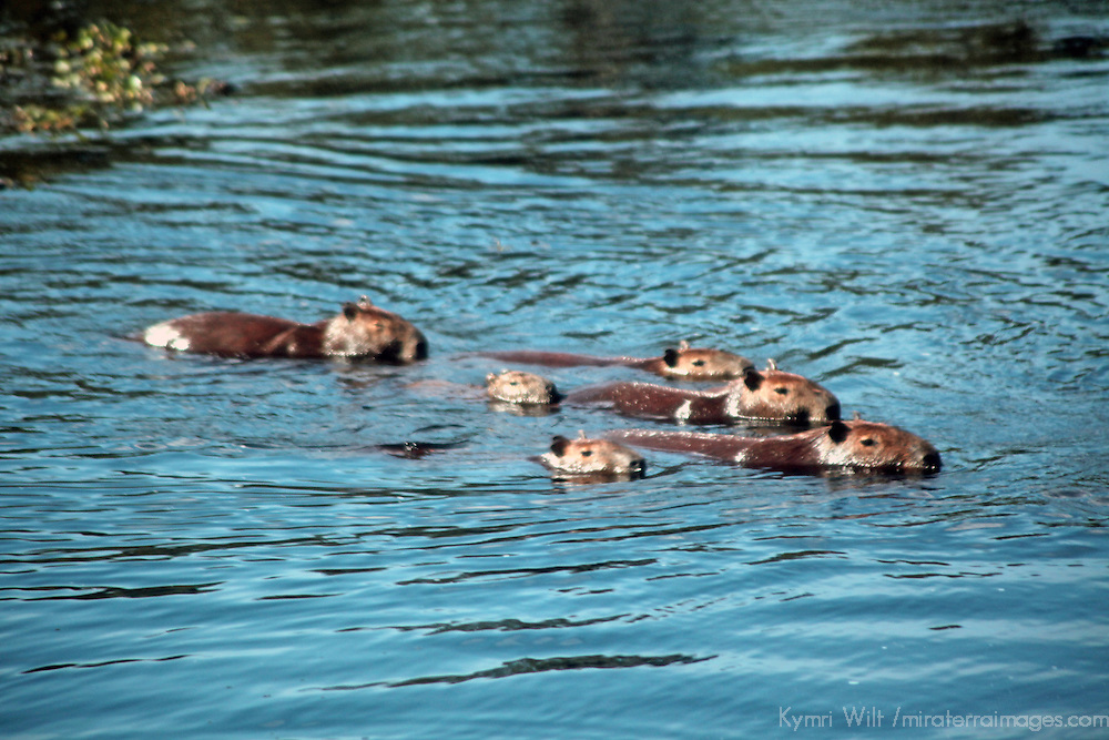 South America, Brazil, Pantanal. A family of capybara swim across a river in the Pantanal.
