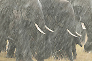 Rainstorms in Amboseli can be sudden and dramatic.  These elephants were drenched within seconds and seemed to enjoy their unexpected bath.<br /> LIMITED EDITION PRINT <br /> <br /> Note:  10% of the profits from the sale of Amboseli elephant prints goes to support the amazing work of the Amboseli Trust for Elephants.  Learn more at: www.elephanttrust.org