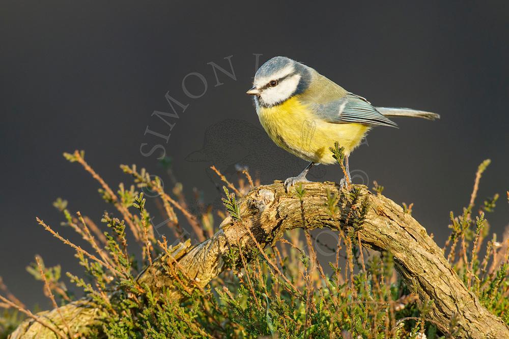 Blue Tit (Parus caeruleus) adult, Norfolk, UK.