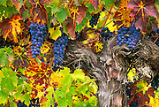 Cabernet Sauvignon wine grapes on vine;  Valley View Winery, Applegate Valley, Oregon.