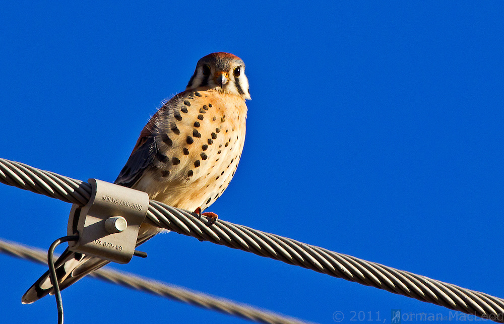 American kestrel (sparrow hawk) overlooking a field in eastern Washington.  Powerlines, poles, fencelines and other tall objects serve as ideal perches for this small raptor in landscapes where trees are few and far between.