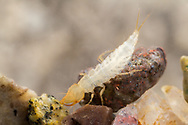 Edwards Aquifer diving beetle (Haideoporus texanus) - larva<br /> TEXAS: Hays Co.<br /> Artesian Well on Texas State University Campus<br /> 5-Nov-2015<br /> J.C. Abbott &amp; K.K. Abbott