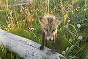 Red Fox, Vulpes fulva on log, Wildflowers, Katmai National Park, Alaska