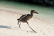 A juvenile Yellow-crowned Night Heron runs in a mangrove lagoon.