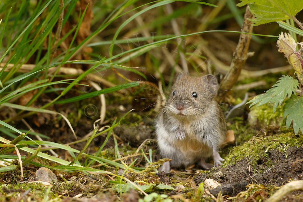 Bank Vole (Clethrionomys glareolus) adult, alert in undergrowth, South Norfolk, UK. July.