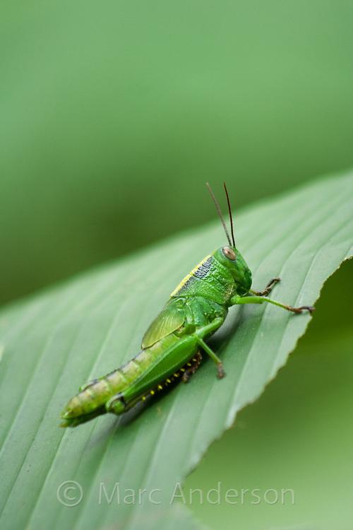 Green Grasshopper on a Leaf, Philippines