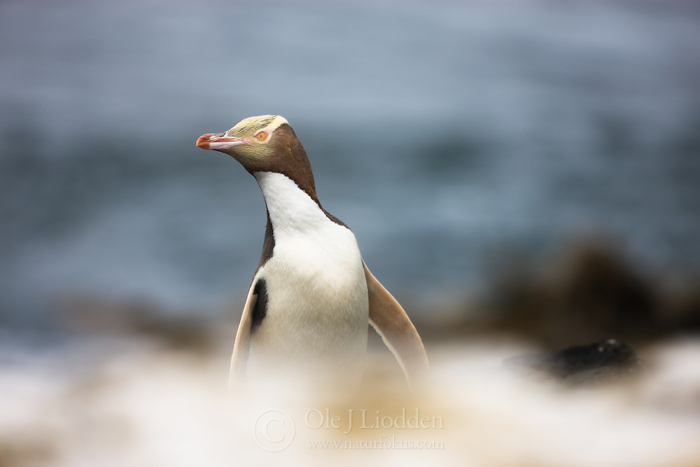 Yellow-eyed Penguin (Megadyptes antipodes) at Auckland Islands