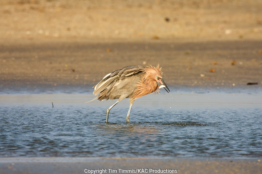 Reddish Egret, Egretta rufescens, Galveston, Texas gulf coast, raised wings, fishing, catching fish