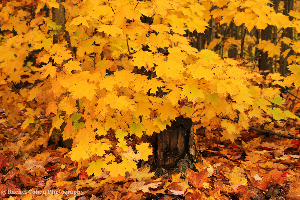 &quot;Peak Foliage Burst&quot;<br /> <br /> A wet woodland filled with bursts of golden yellow Maple trees!!<br /> <br /> Fall Foliage by Rachel Cohen