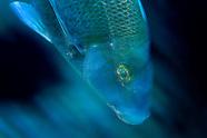 Nemadactylus douglasii (Porae)