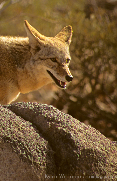 North America, Americas, USA, United States, Arizona. Coyote at Arizona-Sonora Desert Museum.