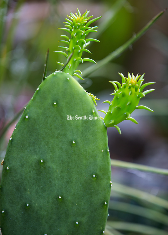 Spineless prickly pear. (Mike Siegel / The Seattle Times)