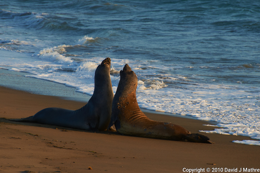Elephant Seals at Piedras Blancas Beach, Central California Coast. Image taken with a Nikon D3x and 70-300 mm VR lens (ISO 140, 300 mm, f/8, 1/250 sec).