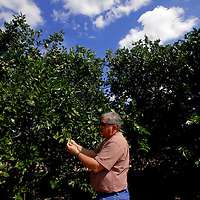 LAKE WALES, FL -- October 13, 2010 -- Citrus grower Marty McKenna pulls fruit from a recovering tree in one of his orange groves in Lake Wales, Fla., on Wednesday, October 13, 2010.  The housing bust left orange groves - which were scooped up by investors - unattended, overgrown and full with disease.  That disease is spreading to healthy, adjacent fields - leaving citrus growers scrambling to replant lost production...ORANGES