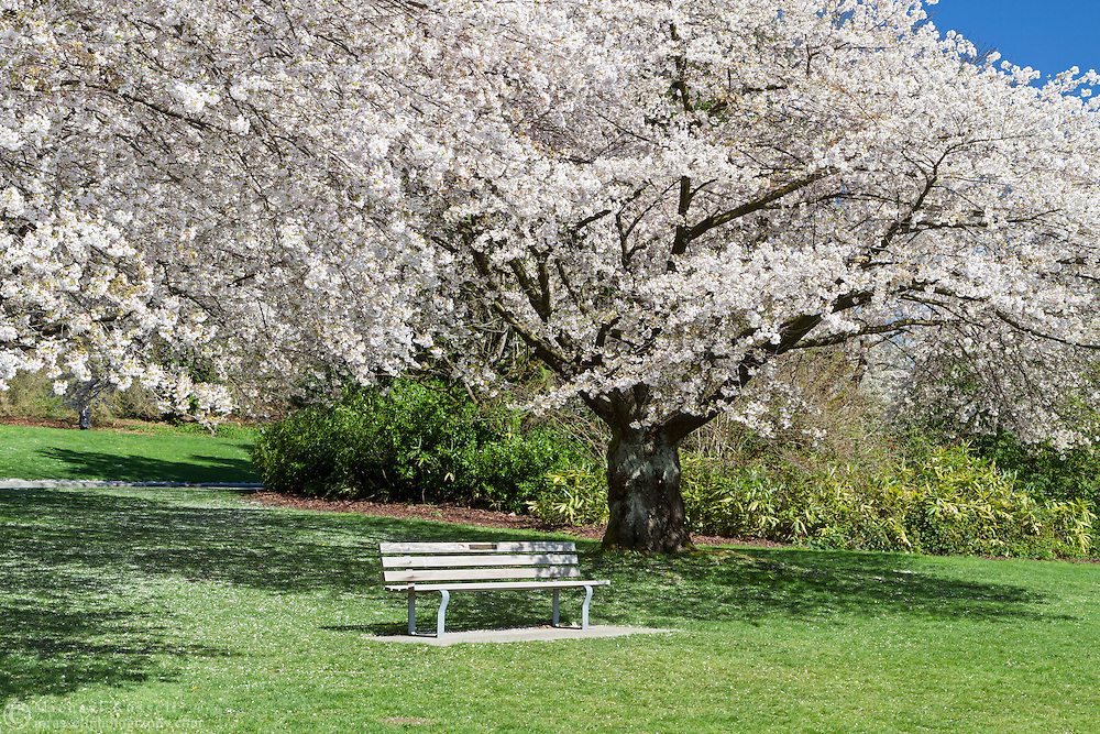 A park bench beneath a flowering cherry tree at Queen Elizabeth Park in Vancouver, British Columbia, Canada
