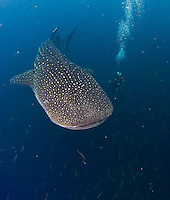 Images from West Papua and Raja Ampat region to include western Halmahera. Whale shark images and WWII wrecks taken around Cendrawasih Bay Preserve, Biak and Manokwari.<br />