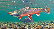 Dolly Varden (with Sockeye Salmon in Background)<br />