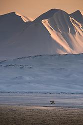Polar bear (Ursus maritimus) in April after sunset. Svalbard, Norway