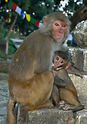 """A mother rhesus macaque monkey suckles her young, at Buddhist Swayambhunath, the """"Monkey Temple"""", which was founded about 500 AD, one of the oldest and holiest Buddhist sites in the Kathmandu Valley. It sits on a hill in the west of Kathmandu overlooking the city. Rhesus macaques can be found in temperate cedar oak forests, tropical woodlands, and swamps from Afghanistan and India to Thailand and Southern China. In India and Nepal, they can be found near Hindu temples, accepting food from humans."""