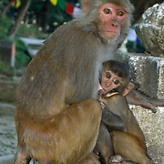 "A mother rhesus macaque monkey suckles her young, at Buddhist Swayambhunath, the ""Monkey Temple"", which was founded about 500 AD, one of the oldest and holiest Buddhist sites in the Kathmandu Valley. It sits on a hill in the west of Kathmandu overlooking the city. Rhesus macaques can be found in temperate cedar oak forests, tropical woodlands, and swamps from Afghanistan and India to Thailand and Southern China. In India and Nepal, they can be found near Hindu temples, accepting food from humans."