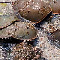 New York, Long Island - Horseshoe Crabs swarming to mate.