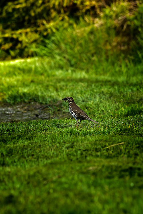 A Song Thrush (Turdus philomelos) in early summer.