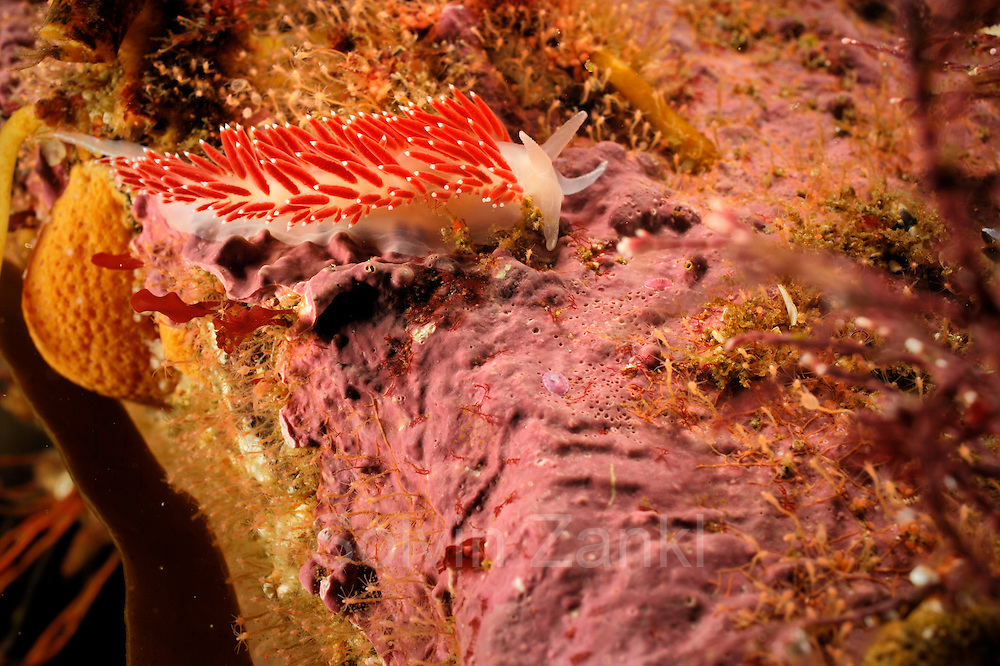 Nudibranch (Flabellina verrucosa) on red algae, Atlantic Ocean, Strømsholmen, North West Norway | Atlantischer Ozean, Strømsholmen, Nordwestküste von Norwegen