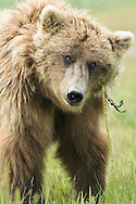 Alaskan Brown Bear, Lake Clark National Park, Alaska