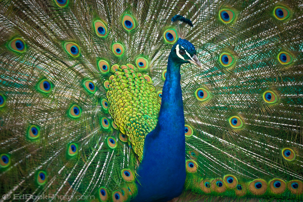 peacock feather desktop wallpaper