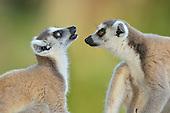 Lemuridae