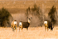 Mule Deer Does (Odocoileus hemionu ) Paradise Valley, south of Livingston Montana
