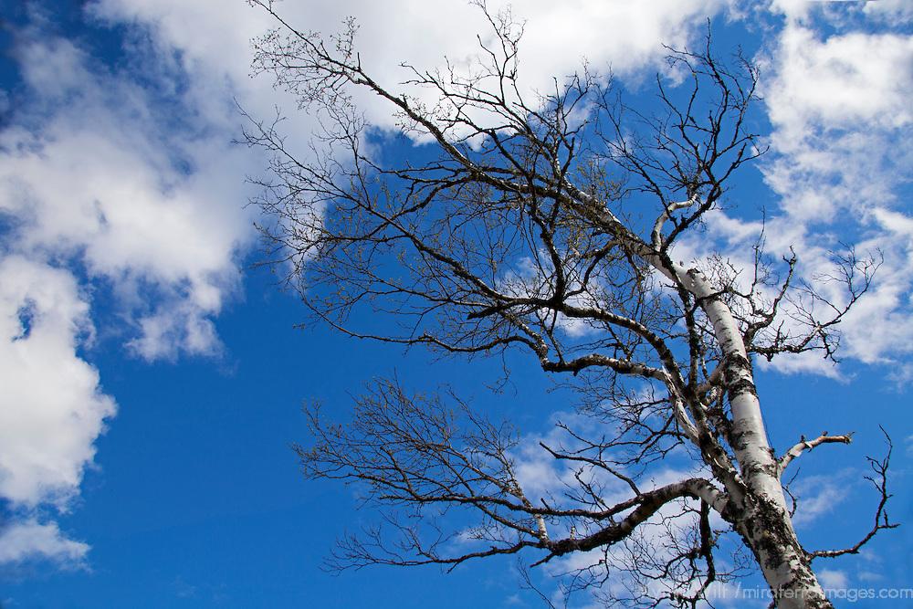 North America, Canada, Nova Scotia. Bare Tree against blue sky.