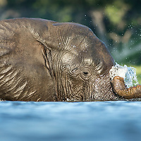 Africa, Botswana, Chobe National Park, African Elephant (Loxodonta africana) swimming submerged in Chobe River on summer afternoon