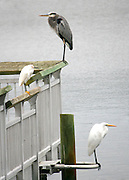 A Great Blue Heron, a Snowy Egret and a Great Egret at rest on the same dock.