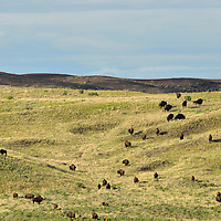 Bison herd on the Great Plains of Montana at American Prairie Reserve. South of Malta in Phillips County, Montana.