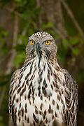 Changeable Hawk Eagle.