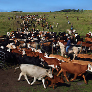 Cattle are rounded up as calves are to be branded at the Kuahiwi Ranch somewhere in the higher country above the town of Naalehu on the southern part of the Big Island, Hawaii.