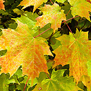 Water drops collect like beads on a maple leaf in late September in Superior National Forest, Minnesota, USA.