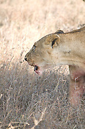 """""""A warthog is a cup of tea for a lioness"""" stated the askari.  As if bearing witness to this truth, this lioness fiercely protected her prize ... from her cubs."""